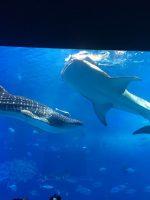 修学旅行団 美ら海水族館の様子です