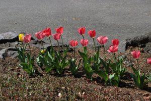 「思いやりの花」が見頃を迎えています